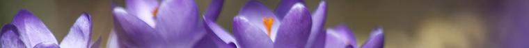 Весенние крокусы